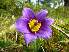 pasque-flower-common-pasque-flower-pulsatilla-vulgaris-hahnenfussgewachs-57415
