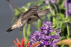 Black-chinned Hummingbird Female (gilamonster8) Tags: garden hummingbird flight bird arizona bokeh beyondbokeh