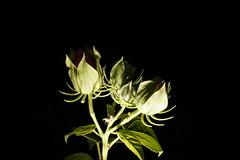 _DSC0199 (wdeck) Tags: meingarten flowers sonya700 blossoms blte malve hibiskus