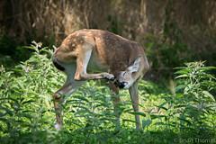 Scratching an itch (NBTXN) Tags: tamron150600 animal whitetaildeer cuteness itch selmaparkestates texas nature outdoors nikon scratch babydeer fawn polkadots deer spots