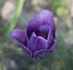 tulipan (waldemarjan) Tags: tulipan tulipa
