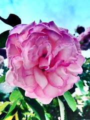 (Luca3803) Tags: petali nature natura foglie spine flower fiore pink rose rosa