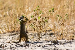 tree Squirrel Reaching For The Tasty Bit (Barbara Evans 7) Tags: tree squirrel moremi game reserve botswana barbara evans7