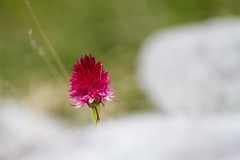 Red sprout (Nigritella rubra) (smir_001 (on/off)) Tags: nigritellarubra gymnadeniarubra nigritella gymnadenia rubra bicolour redkohlrserl vanillaorchid redsprouts nigritellaminiata pink red orchids orchideen austrianorchids wildorchids orchidaceae theorchidfamily july summer europeanorchids macro closeup austria dachstein ramsau ramsauamdachstein styria steiermark wildflowers alpine subalpine altitude flora nature plants outdoor hiking austria2016 canoneos7d tauplitz liezen traweng theaustriannigritella nigritellaarchiducisjoannis archdukejoannis depthoffield bokeh