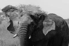 _CR14729.jpg (sylvainbenoist) Tags: africa afrique animaux continentsetpays elephant mammifères nb nature serengeti tz tza tanzania tanzanie