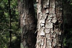 Troncs  promenade des hauteurs de Saorge, Alpes-Maritimes, aot 2016 (Stphane Bily) Tags: stphanebily fontan saorge alpesmaritimes provencealpesctedazur tree tronc log arbres pins pines