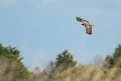 busard des roseaux (circus aeruginosus) (G.NioncelPhotographie) Tags: oiseau ornitho animaux pentax nature busard roseaux rapace
