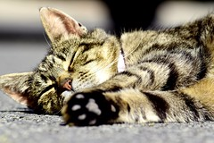 Contented cat (Shamanski73) Tags: contented cat sleep sunny cute lazy tabby rehomed snooze warm fluffy paws