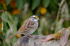 White-throated Sparrow-45284.jpg (Mully410 * Images) Tags: stone rock birding hawkridge leaves bird birds sparrow lakesuperior northshore birdwatching whitethroatedsparrow minnesota