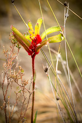 Possible natural hybrid Red & Green Kangaroo Paw/ Cat's Paw (Lennixx Nature Photography) Tags: anigoganthos humilis manglesii kangaroopaw red yellow green natural hybris crossspecies wirelesshill perth wa bushland wildflower interesting rare flower fluffy multicolored botany genetics conservation