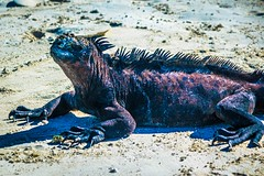A marine iguana lounging at in the afternoon sun.