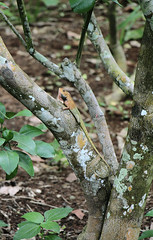 IMG_0483 (trevor.patt) Tags: palauubin singapore lizard