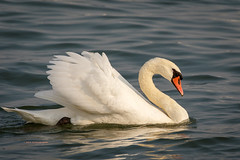 Classic Pose (rickdunlap2) Tags: muteswan bird animal wildlife vlaardigen rotterdam netherlands