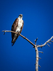 The Osprey (http://fineartamerica.com/profiles/robert-bales.ht) Tags: birds forupload idaho osprey places projects states sunvalleyarea bird pandionhaliaetus seahawk fisheaglefishhawk migratorybird falconry monogamous americanphotograph northamericanphotography haybales canonshooter protectedbird rapor aves hunters northwestphotography idahophotography birdphotography panoramic scenic sensational spectacular awesome magnificent peaceful inspirational soaring migrate fishers flying perching vignette brown hawklike eagle river lake birdofprey robertbales