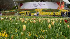 Floriade 2016 Canberra (tree.twisted) Tags: floriade canberra 2016 flowers flowershow spring nikon50mmf14