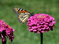 Monarch (Picsnapper1212) Tags: monarch butterfly insect animal nature zinnia flower plant orange black pink green