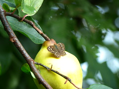 on quince (Michiel Thomas) Tags: bont zandoogje quitte quince kweepeer garden pararge aegeria vlinder butterfly falter schmetterling waldbrettspiel tircis speckled wood