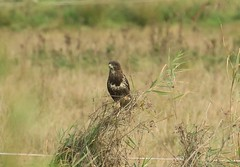Common Buzzard (andyt1701) Tags: jersey