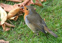 Autumn  Robin (Eleanor (No multiple invites please)) Tags: robin leaves kensingtongardens london nikond7100 september2016
