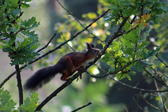 Acorn for dinner (Ib Aarmo) Tags: red squirrel eating tree outdoor nature