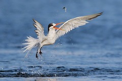 Slippery Fish (bmse) Tags: elegant tern bolsa chica fish fishing slip loss canon 7d2 400mm f56 l bmse salah baazizi wingsinmotion