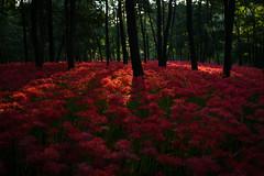 (qrsk) Tags: red flower clusteramaryllis spiderlily morning earlymorning woods plants landscape japan light black