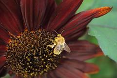late harvest (Alex Jacek) Tags: bee pollen harvest macro makro nature natur natura przyroda pszczola bak kwiat flower blume
