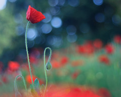 Earth Laughs in Flowers (Ida H) Tags: nature flowers flower wildflowers poppy poppies red bright bold colourful shallowdof nikon bokeh primarycolours abstract wild morning morninglight joy summer happiness outdoors