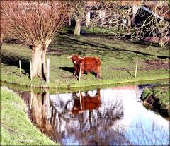 Mirror Mirror (Emil de Jong - Kijklens) Tags: reflection mirror cow spiegel reflexions koe reflectie
