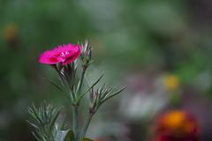 Dianthus on 12-11-2012 (Sandeep Santra) Tags: pink india flower color macro green nature closeup canon photography eos dof bokeh details dianthus westbengal macrophotography flowerart natureart 500d dianthuscaryophyllus incredibleindia chandannagar efs55250mmf456is sandeepsantra