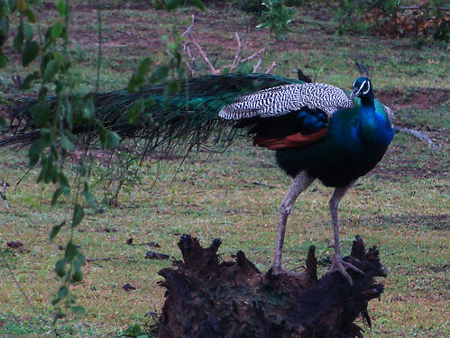 Indian Peafowl (Pavo cristatus) Pfau