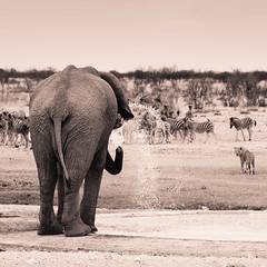"""Elephant scaring lions with Zebra watching in Etosha National Park, Namibia • <a style=""""font-size:0.8em;"""" href=""""https://www.flickr.com/photos/21540187@N07/8291791921/"""" target=""""_blank"""">View on Flickr</a>"""