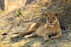 "Lioness in Okavango Delta, Botswana • <a style=""font-size:0.8em;"" href=""https://www.flickr.com/photos/21540187@N07/8294340874/"" target=""_blank"">View on Flickr</a>"