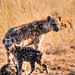 "Spotted Hyena with Cubs in Okavango Delta, Botswana • <a style=""font-size:0.8em;"" href=""https://www.flickr.com/photos/21540187@N07/8294355746/"" target=""_blank"">View on Flickr</a>"