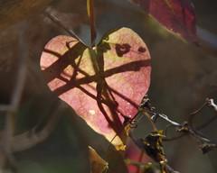 Cross my heart ... (Monceau) Tags: lines leaf vines shadows heart backlit crossed