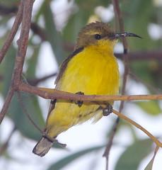 Mother sunbird, Cape Pallarenda, Townsville, QLD 21/12/12 (Russell Cumming) Tags: bird queensland townsville yellowbelliedsunbird capepallarenda