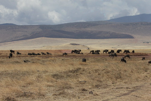 Wildebeest in Ngorongoro (4)