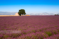 Lavender's field with bathhouse and tree (July 2012) (Michele Berti) Tags: france mountains montagne bath lavender bluesky viola francia verdon provenza viole bathhouse lavanda capanna cieloblu capanno lavenderfield parcnaturelregionalduverdon