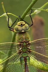 Anax imperator - Keizerlibel (henk.wallays) Tags: macro nature up insect close dragonflies dragonfly wildlife odonata imperator libel keizerlibel anax libelulle odonate