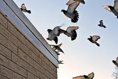 Christmas Pigeons Arriving at the Penthouse Studio Roof (Jason Michael) Tags: christmas pigeons roost jasonmichael inair nikonv1 30110mm jasonxmichael jasonxaviermichael wwwjasonxmichaelcom speedlightsbn5