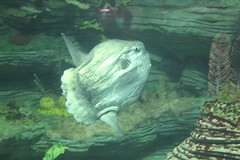 Oceanografic, Valencia: pesce pietra (falco di luna) Tags: valencia museo acquario vacanza spagna pesce oceanografic complesso pescepietra cittdelleartiedellescienze