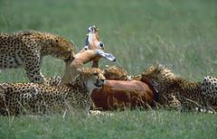 Jacques-Michel'C (jmcphot0) Tags: africa travel beautiful face birds cat canon de african east adventure explore e serval girafe afrique lest zèbre zibra réticulé