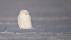 Snowy Owl (Raymond J Barlow) Tags: white ontario canada nature nikon snowy wildlife owl raymondbarlowtours