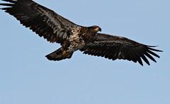 Incoming!!!! (Laura Rowan) Tags: bird canon rebel eagle birding iowa raptor leclaire lockanddam14