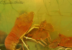 Flathead/Slipper Lobsters (Bella Abelita) Tags: food philippines seafood masbate
