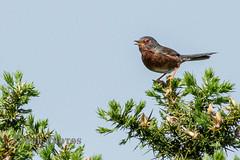 Dartford Warbler (Nigel Dell) Tags: birds spring wildlife dartfordwarbler ngdphotos