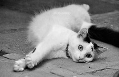 YOKO EM PB (Angela Raposo) Tags: blackandwhite pet nature animal cat kitten natureza gato gata yoko pretoebranco 200mm naturelove animaldomstico nikond3000