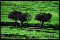 3 olive trees