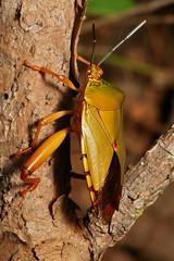 Giant Shield Bug (Eusthenes femoralis, Tessaratomidae) (John Horstman (itchydogimages, SINOBUG)) Tags: insect macro china yunnan itchydogimages sinobug bug shield stink hemiptera tessaratomidae true orange entomology