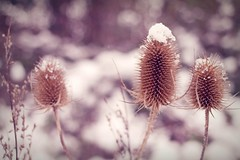3 Teasels [3/52-2013] (Kirotea) Tags: winter 3 snow plant cold nature closeup bokeh pastel january week worcestershire teasels evesham project52 52week 52weekproject samsungnx january2013 samsungnx30mmf2 samsungnx30mm weekofjanuary15 samsungnx20 52weeksthe2013edition 522013